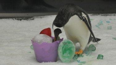An Easter treat for penguins at Seaworld.
