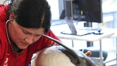 Veterinary surgeon   Lisa Argilla examines an emperor penguin, nicknamed Happy Feet, at Wellington Zoo.