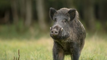 A large boar stops, cautiously sniffing the air.