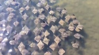 A fever of migrating stingrays in Florida captured on video.
