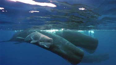 A mother sperm whale and her calf swim with a pod off Guam.