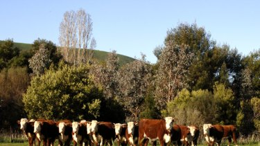 Uncontrolled cattle access to rivers can affect water quality.