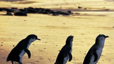 Penguins who call Phillip Island home are much healthier than their St Kilda cousins