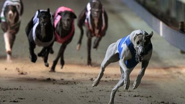 Dissent on dog racing inquiry: The committee investigating the greyhound racing industry is said to have removed any reference to the number of dogs killed each year.
