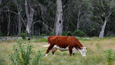A cow grazes on the Dargo High Plains.