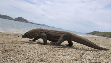 A Komodo dragon on Komodo island. The giant lizards can be over three metres long.