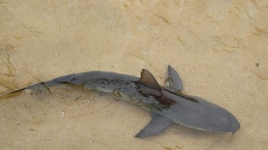 A shark believed to be a baby bronze whaler in the ocean bath at Avaloon beach today