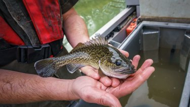 A juvenile Murray Cod caught during monitoring activities in North West Victoria.