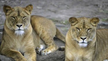 Bing, left, and Jamelia, right, at Mogo Zoo. Jamelia was shot dead by staff after escaping from her enclosure.