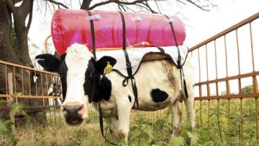 Fighting global warming ... scientists have strapped plastic tanks to the backs of cows to measure their burps.