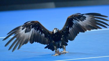 Wedge-tailed eagle Oorik on Margaret Court Arena. The raptor is employed to scare away other birds making a pest of themselves.