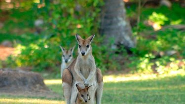 A cull of of agile wallabies will go ahead at Mission Beach.