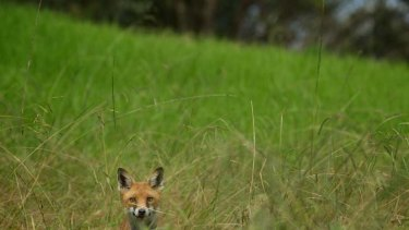 Target ... non-native species like foxes are in hunters' sights.