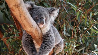 Endangered ... an environmental group says wood used to make Harvey Norman's ''Natural Australian'' flooring range is putting koalas at risk of extinction.