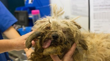 A particularly large dreadlock on Lochie before he was shaved.