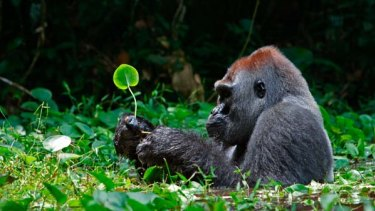 Host to killer pathogen ... a silverback gorilla forages  in the Republic of Congo.