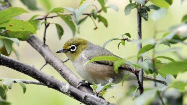 Singing their own tune ... A silvereye bird.