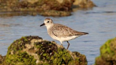 A grey plover hunts for small creatures in the rocky shallows.