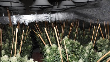 Police say the best syndicates have perfected their hydroponic systems.