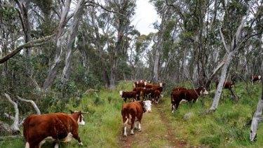 Livestock graze on the Drago High Plains.