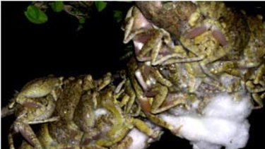 Male frogs congregate on two female egg nests, known as polyandry mating balls.