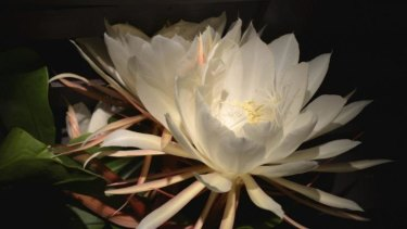 The great pretender: Epiphyllum oxypetalum, also commonly called Queen of the Night.