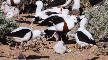 Banded silts on an island in Lake Torrens. The species is breeding again for the first time in a decade. <i>Picture: Ken Gosbell</i>