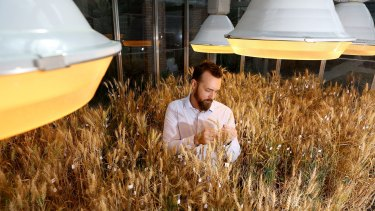 Dr Lee Hickey, from the Queensland Alliance for Agriculture and Food Innovation at the University of Queensland, inspects the wheat crops in one of the speed breeding facilities.