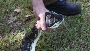 Hungry python: A WIRES volunteer takes away the snake.