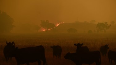 Cattle escape a grass fire burning towards the small township of Wollar in the greater Hunter region.