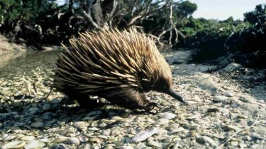 Prickly topic... echidnas use the spur on their hind leg to communicate, not fight.