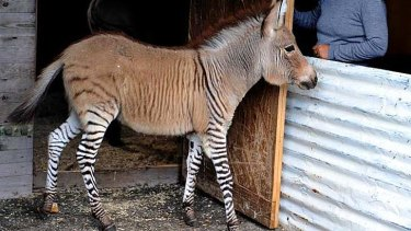 "An act of love: Ippo, a three month old ""zonkey"" (a cross between a zebra and a donkey) at a reserve in Florence."