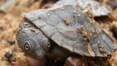 The Mary River turtle has been classified as endangered.