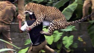 Rampage ... a leopard attacks a forest guard at Prakash Nagar village.