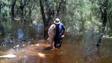 A dead Murray cod is taken from the Murray River at Robinvale.