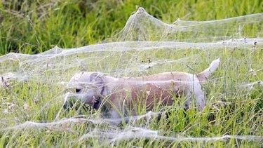 A dog walks through webs in Wagga Wagga.