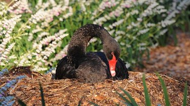 A male black swan continues to protect a nest after its partner was killed in a brutal attack.