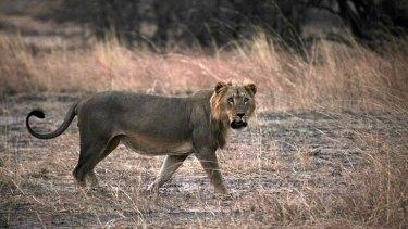 A male lion in Pendjari National Park, Benin.