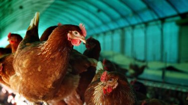 The Australian Egg Corporation want to allow higher density stocking rates for free range hens.