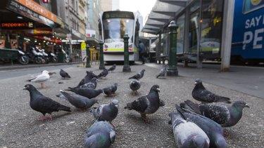 Pigeons in Elizabeth Street.