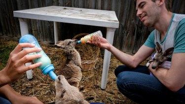 Volunteer Jayson Cameron feeds one of the older joeys living in Julie Malherbe's garden.