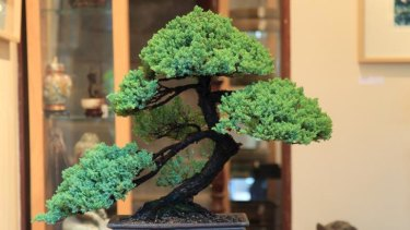 Forty years young … a Japanese black pine worth about $10,000.