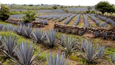 Fuel for thought ... a blue agave plantation in Mexico.