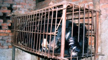 Gut wrenching ... the rescued bear Keri still with an abdominal fistula.