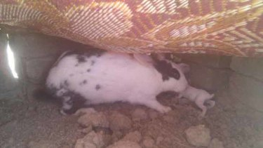 Present ... a resident at the bin Laden compound reportedly gave a neighbourhood teen this rabbit.