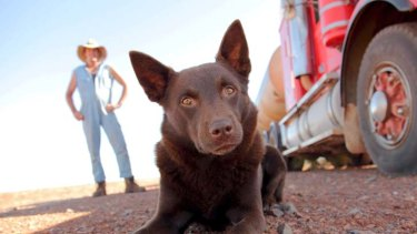 Vets fear people will dump kelpie pups once they realise how much excercise and attention they need.