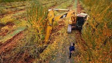 Poor harvest: Andrew Plunkett oversees the removal of his peach orchard.