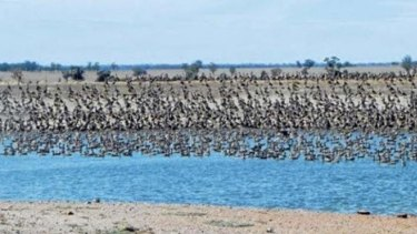 Mia Hunt's photograph, taken 18 months ago, of ducks congregating on the dam of her family's property.