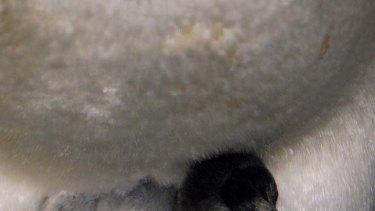 Sea World's new baby penguin.