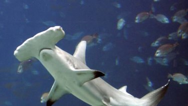 A UN wildlife trade bodyhas rejected a proposal to protect heavily fished hammerhead sharks.